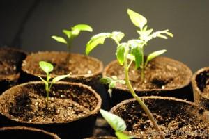 Lana seedlings