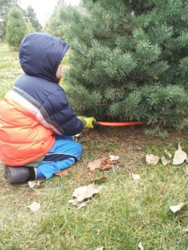 iowa city christmas tree farms